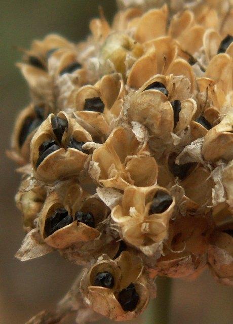 Allium strictum, česnek tuhý