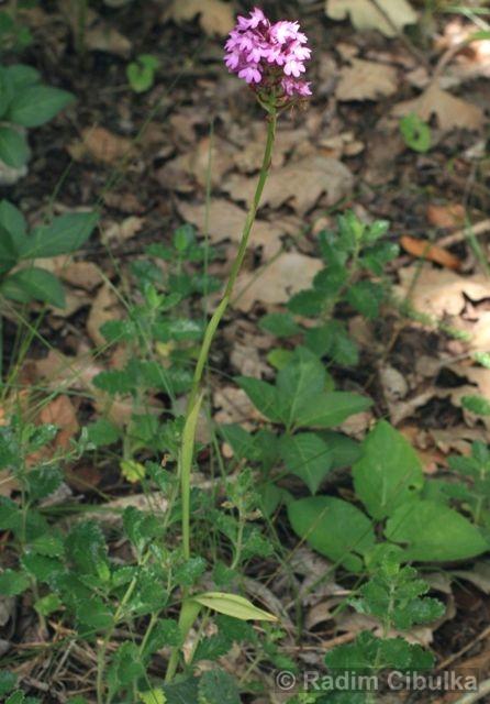 rudohlávek jehlancovitý