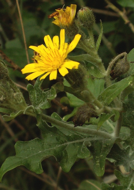 Andryala pinnatifida