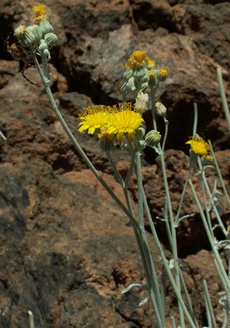 Andryala pinnatifida var.teydea