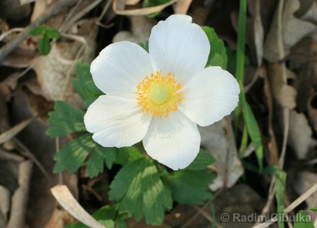 anemone-sylvestris2