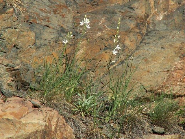 Anthericum liliago, bělozářka liliovitá