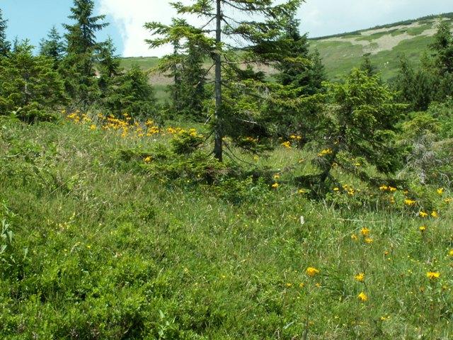 Arnica montana, prha chlumní