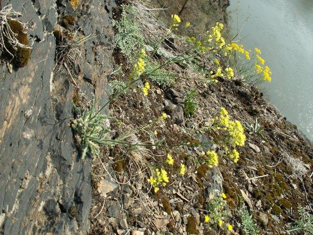 Biscutella laevigata, dvojštítek hladkoplodý