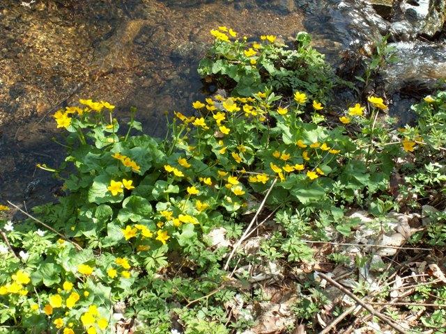 Caltha palustris subsp. laeta, blatouch bahenní horský