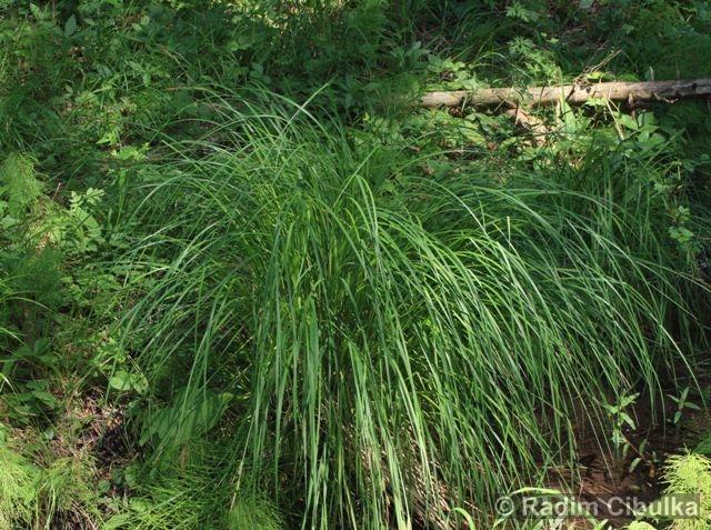 Carex elata, ostřice vyvýšená