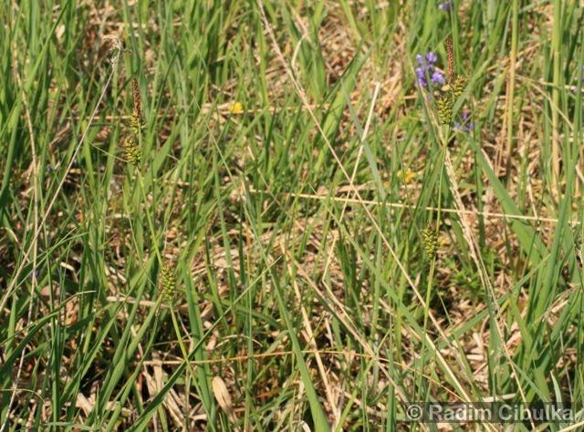 Carex hostiana, ostřice Hostova