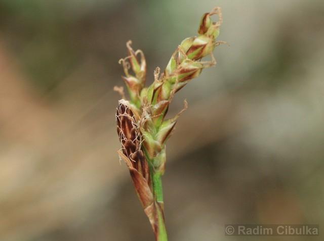 Carex rhizina