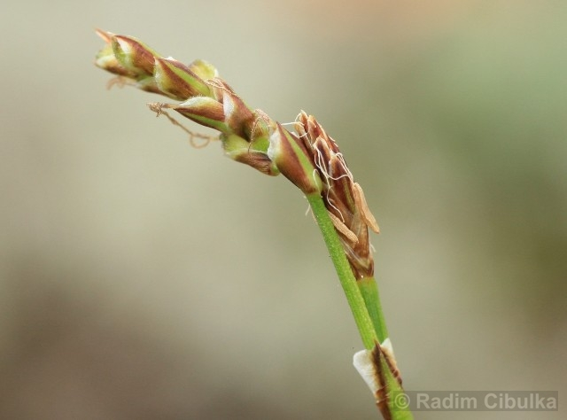 Carex pediformis subsp. rhizodes
