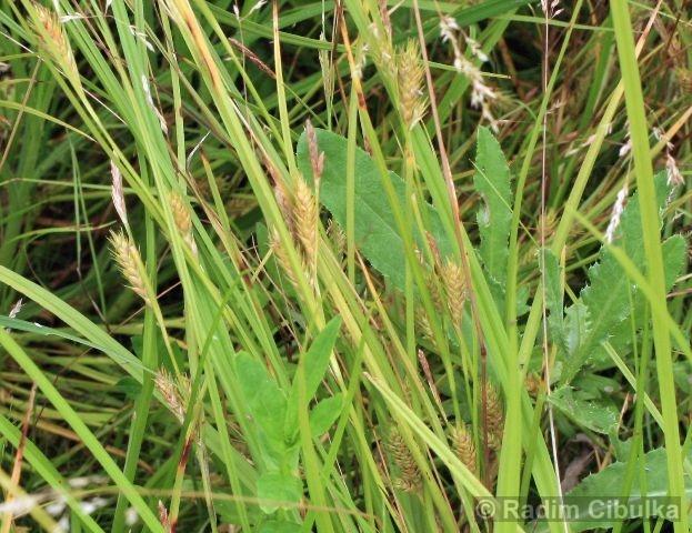 Carex secalina