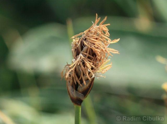 Carex stenophylla