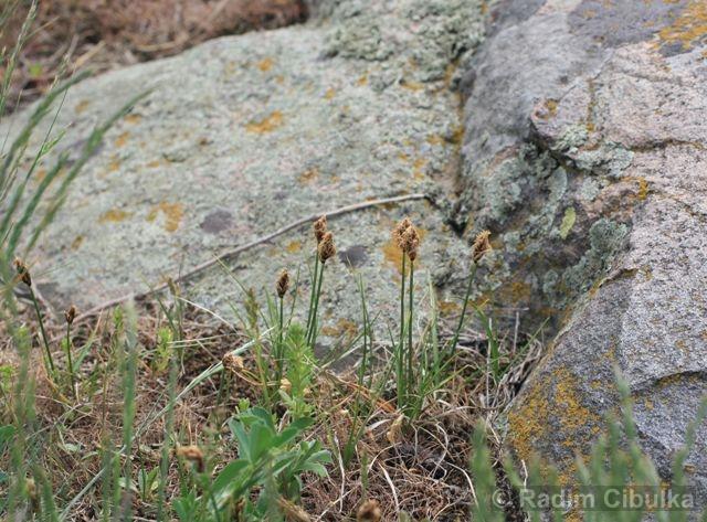 Carex stenophylla, ostřice úzkolistá