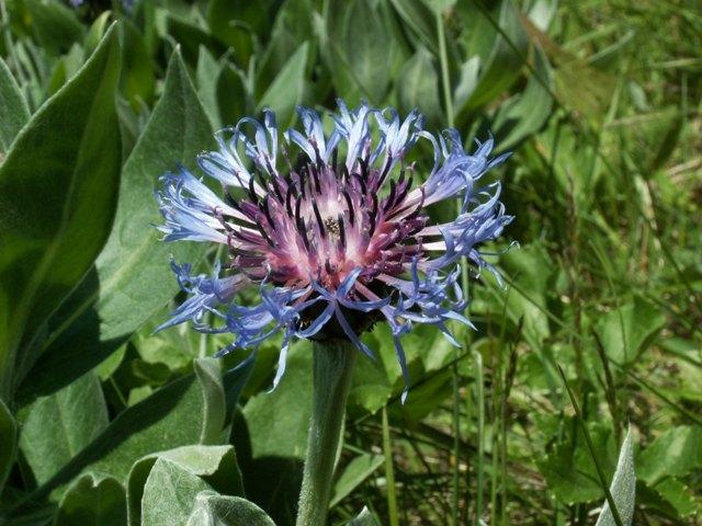 Centaurea montana, chrpa horská