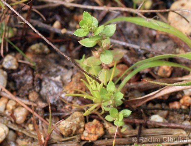Centunculus minimus, drobýšek nejmenší