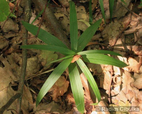 Cephalanthera longifolia, okrotice dlouholistá