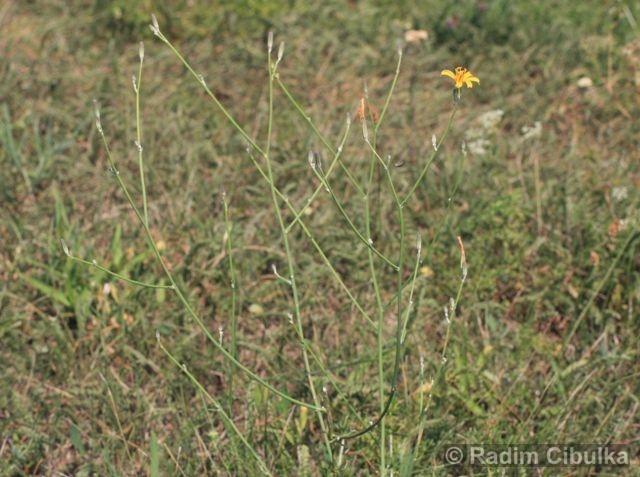 Chondrilla juncea, radyk prutnatý