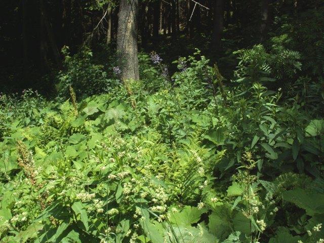 Cicerbita alpina