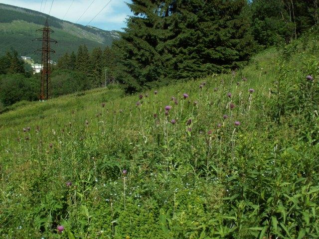 Cirsium heterophyllum, pcháč různolistý