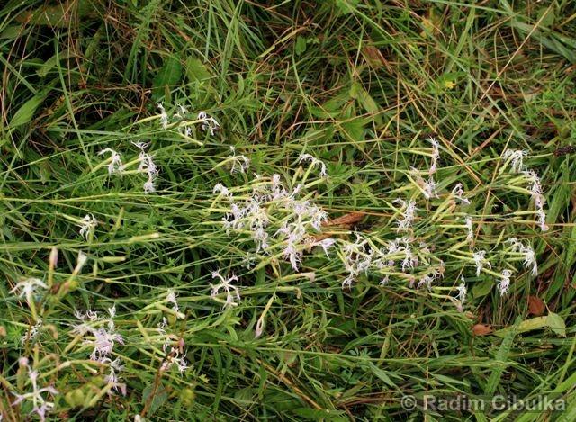 Dianthus superbus, hvozdík pyšný