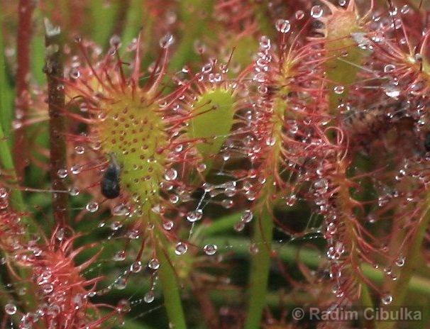 Drosera intermedia, rosnatka prostřední