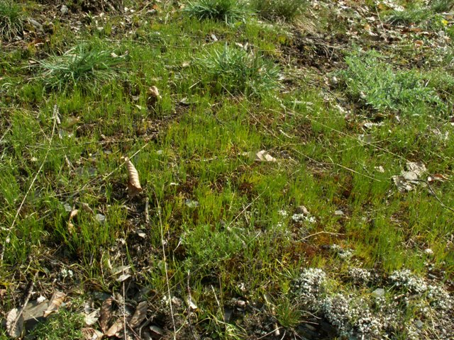 Gagea bohemica subsp. bohemica, křivatec český pravý