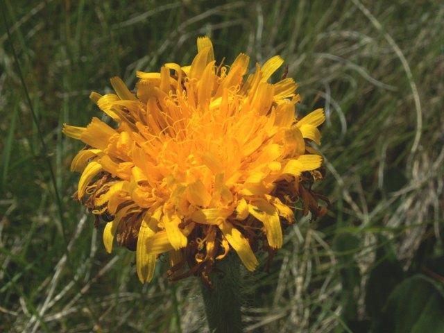 Hypochaeris uniflora, prasetník jednoúborný