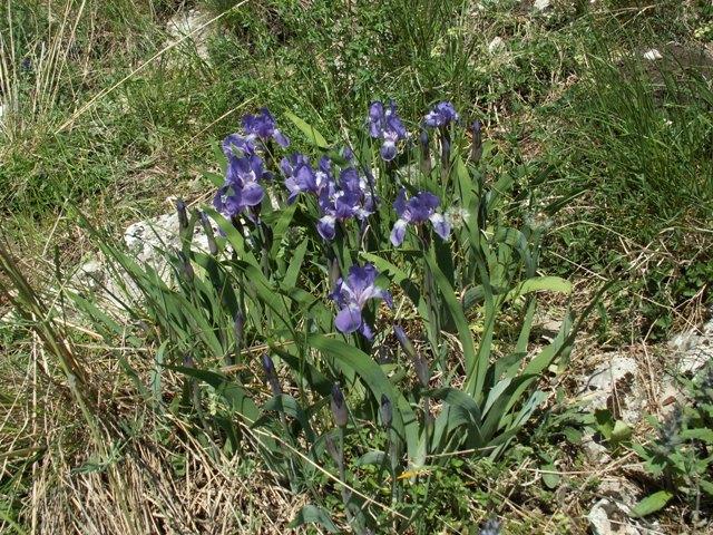 Iris aphylla subsp. aphylla