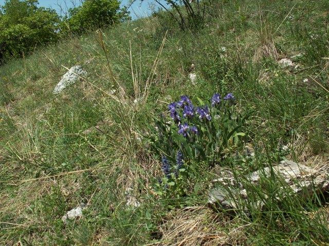 Iris aphylla subsp. aphylla, kosatec bezlistý pravý