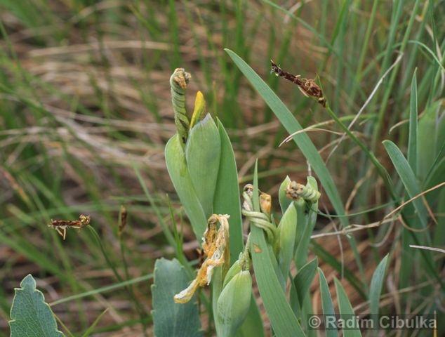 iris-arenaria2