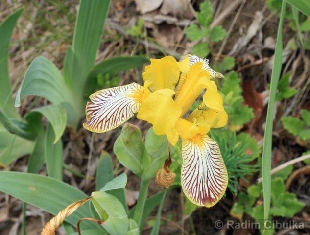 Iris variegata, kosatec různobarvý