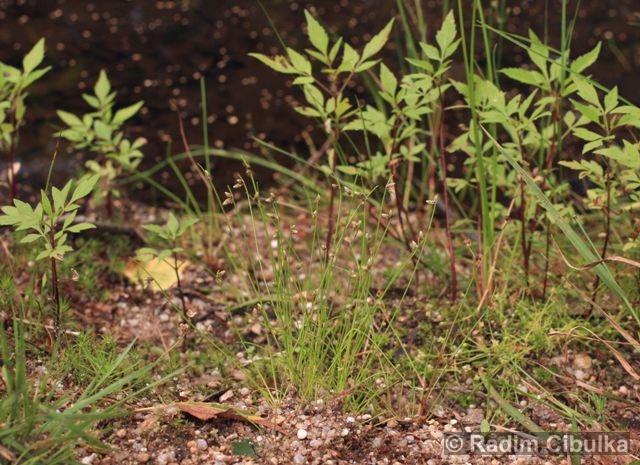 Isolepis setacea, bezosetka štětinovitá