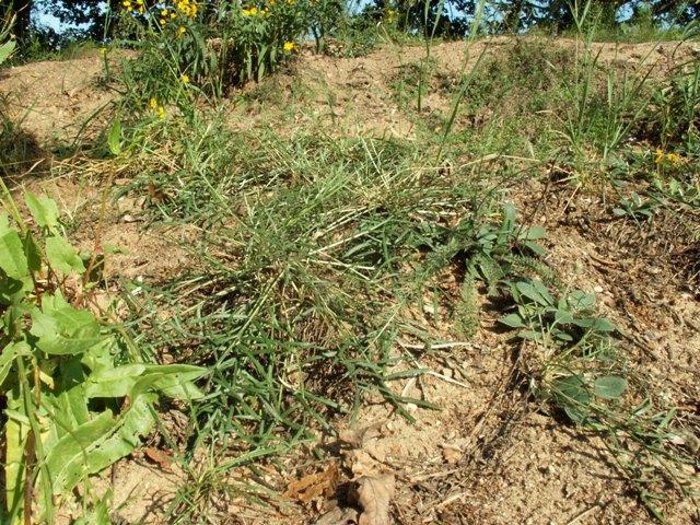 Jurinea cyanoides, sinokvět chrpovitý