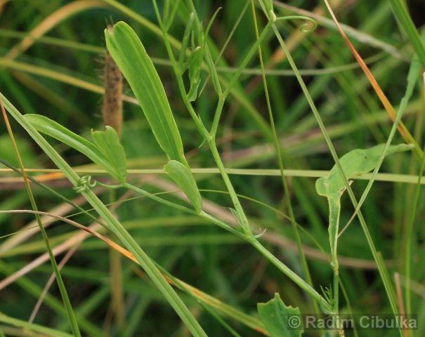 Lathyrus palustris, hrachor bahenní
