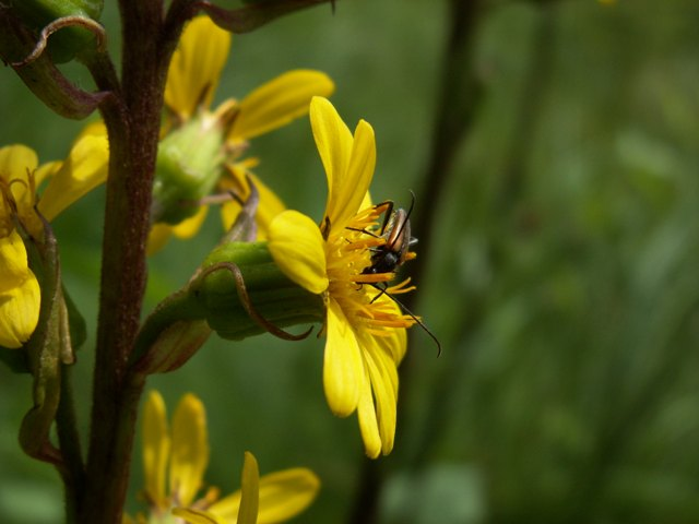 Ligularia sibirica, popelivka sibiřská