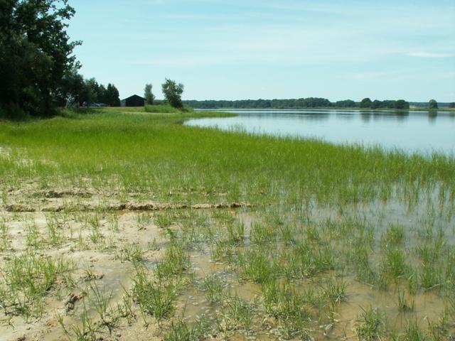 Limosella aquatica, blatěnka vodní