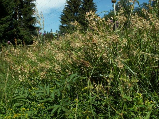 Luzula luzuloides subsp. rubella, bika bělavá měděná