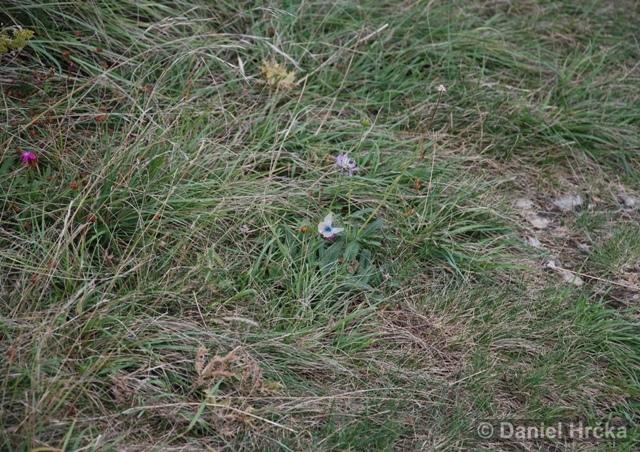 modrásek vikvicový