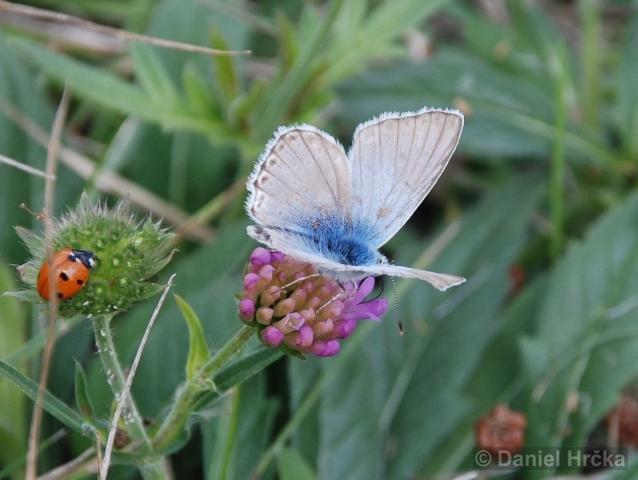 Lysandra coridon, modrásek vikvicový