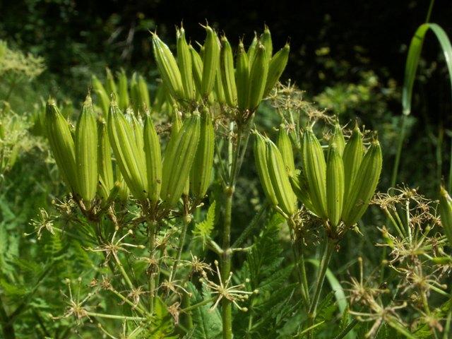 Myrrhis odorata, čechřice vonná
