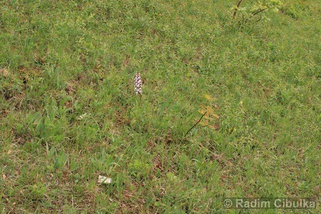 Orchis purpurea, vstavač nachový