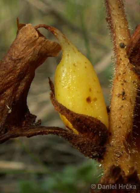 Orobanche alba subsp. alba, záraza bílá pravá