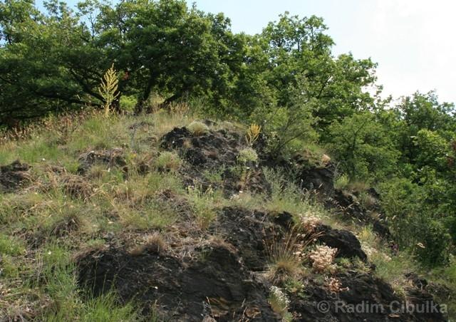 Orobanche arenaria, záraza písečná