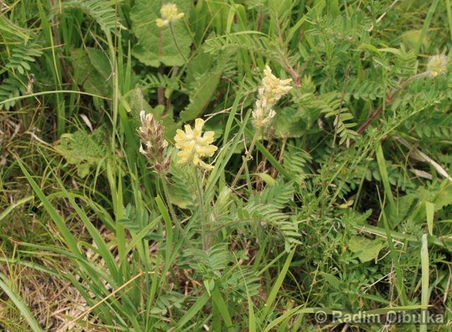 Oxytropis pilosa, vlnice chlupatá