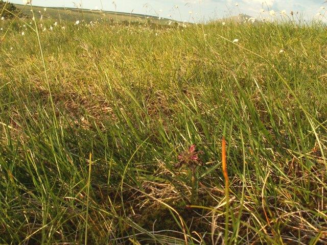 Pedicularis sudetica, všivec krkonošský