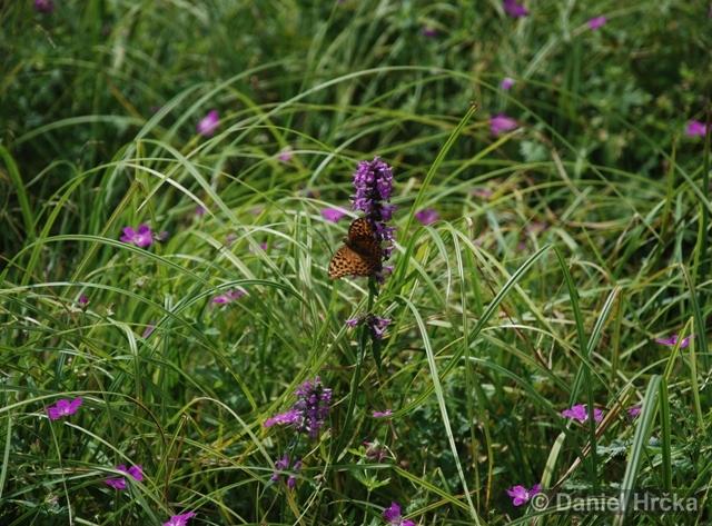 Argynnis paphia, perleťovec stříbropásek