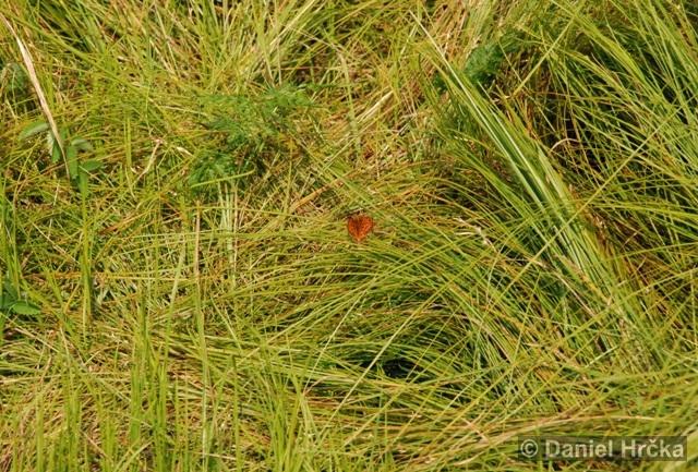 Argynnis aglaja, perleťovec velký