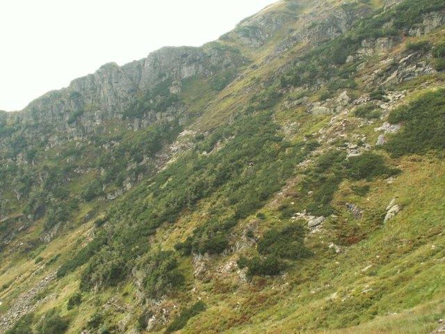 Pinus mugo, borovice kleč