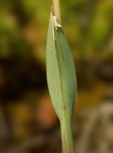 Poa badensis, lipnice bádenská
