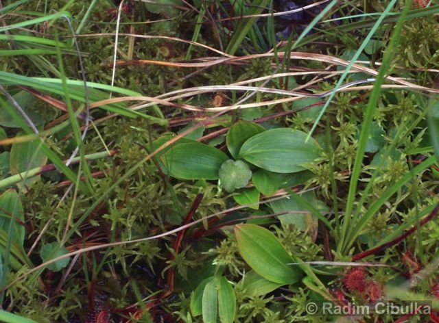 Potamogeton polygonifolius, rdest rdesnolistý