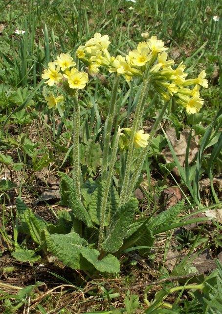 Primula elatior, prvosenka vyšší